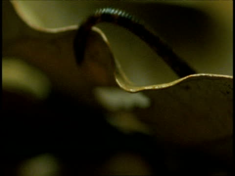 cu leech looping over leaf, western ghats, india - 吸血性点の映像素材/bロール