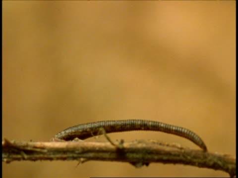 cu leech moving along thorny branch, western ghats, india - 吸血性点の映像素材/bロール