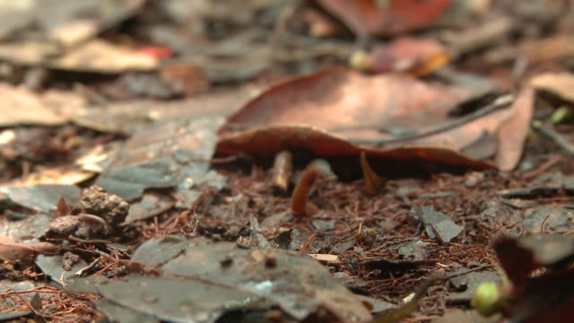 Leech on jungle floor, Maliau Basin, Sabah, Malaysia, Borneo
