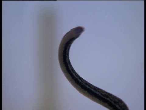 london royal london hospital int close shot of leech swimming in container - leech stock videos & royalty-free footage