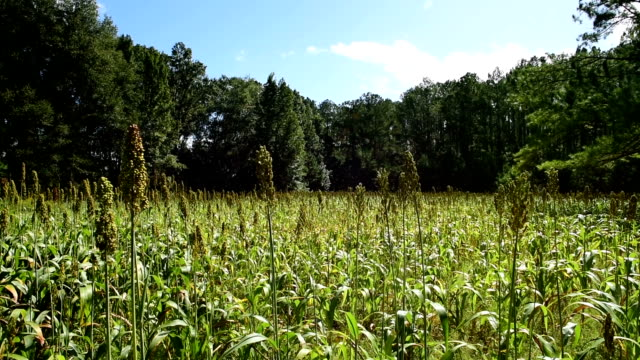 left to right horizontal pan of sorghum plantation in forest opening - sorghum stock videos & royalty-free footage