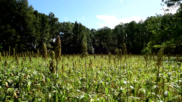 left to right horizontal pan of sorghum plantation in forest - sorghum stock videos & royalty-free footage