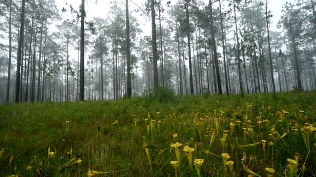 left to right pan over misty pine forest understory filled with pitcher plants - carnivorous plant stock videos and b-roll footage