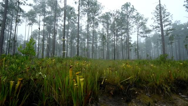 vídeos y material grabado en eventos de stock de izquierda a derecha, panning shot borde lago llenado de plantas carnívoras - planta pitcher