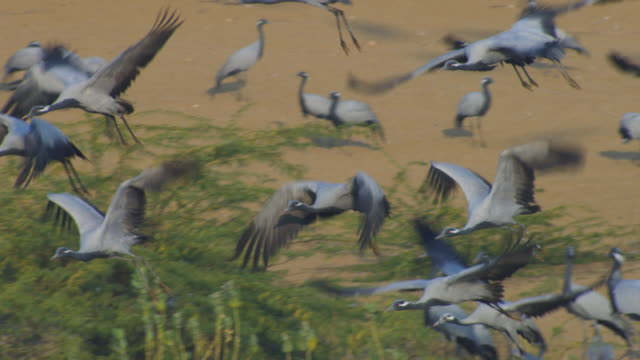 pan left with group of demoiselle cranes flying over flock and td with them as they land - large group of animals stock-videos und b-roll-filmmaterial