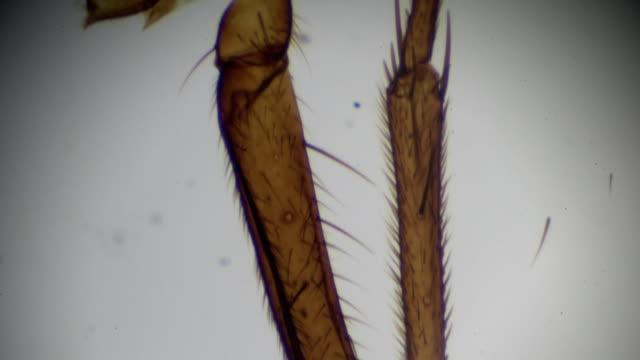 vídeos de stock, filmes e b-roll de perna de mosca doméstica sob microscopia - micrografia científica