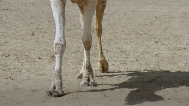 Legs of a camel