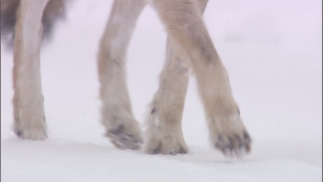 Legs of Coyote (Canis latrans) trotting through snow, Yellowstone, USA
