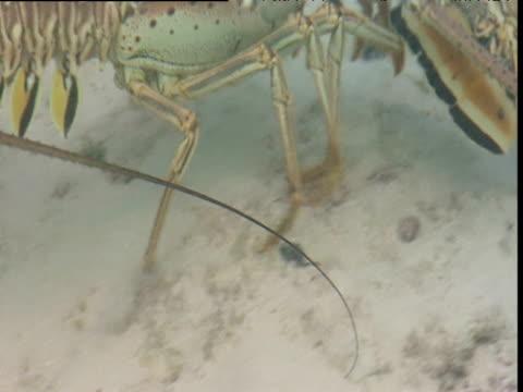 Legs of lobster walking across seabed, Bimini Islands