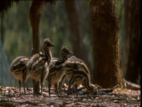 legs of male emu as he guards his brood, victoria - emu stock videos & royalty-free footage