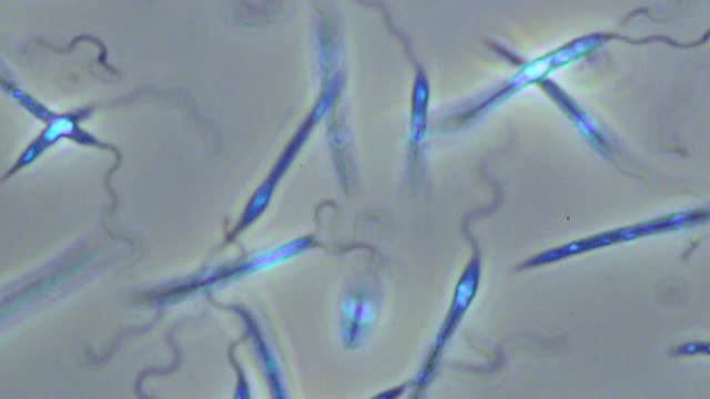 leishmania mexicana parasites - flagello video stock e b–roll