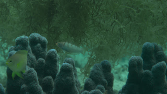 Lemon damsel (Pomacentrus moluccensis) and juvenile batu coris (Coris batuensis) swims over coral. Japan.
