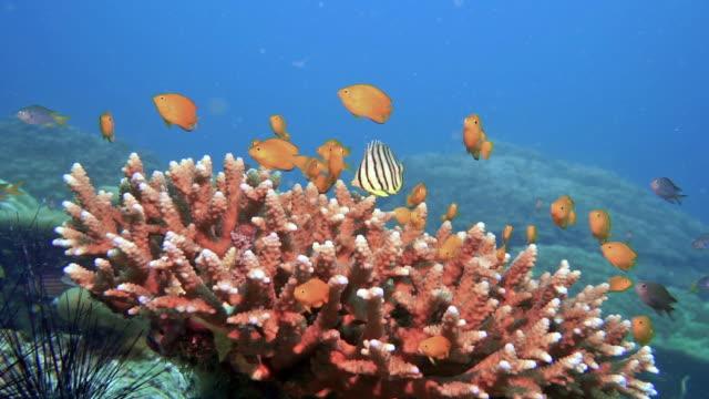 lemon damsel fish (pomacentrus moluccensis) - tropical fish stock videos & royalty-free footage