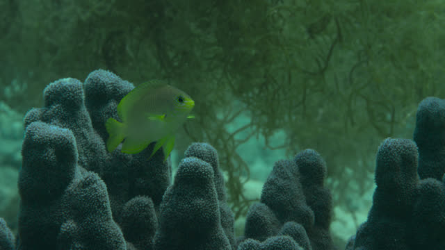 lemon damsel (pomacentrus moluccensis) swims over coral. japan. - alge stock-videos und b-roll-filmmaterial