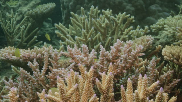 lemon damselfish among hard coral. - hard coral stock videos & royalty-free footage