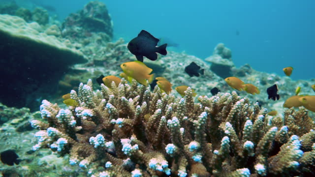 Lemon Damselfish (Pomacentrus moluccenis) in Staghorn coral reef (Acropora)
