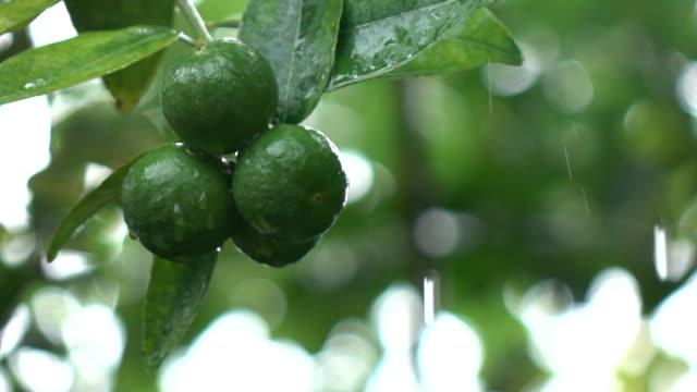 lemon on tree in rain falling - lime stock videos & royalty-free footage