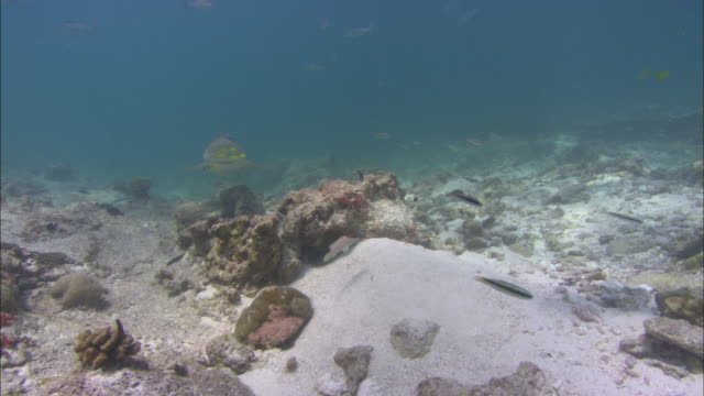 lemon shark, negaprion brevirostris, king fish, blacktip reef shark, carcharinhus melanopterus, aldabra, indian ocean  - ペレスメジロザメ点の映像素材/bロール