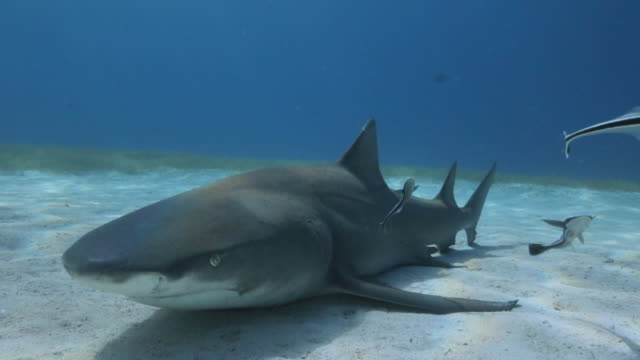 vidéos et rushes de a lemon shark rest in the sand - bahamas