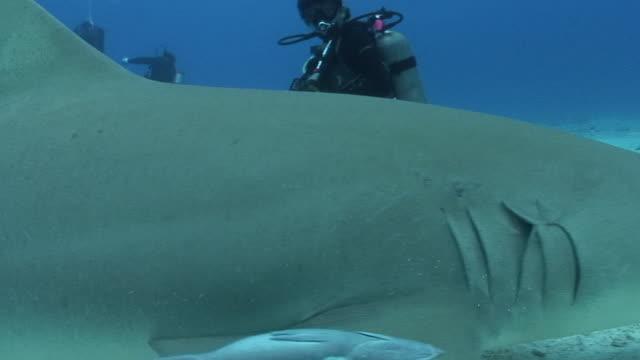 vídeos y material grabado en eventos de stock de lemon shark - rémora