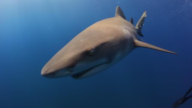 A lemon sharks close encounter