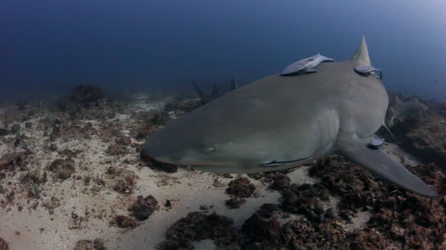 lemon sharks cruise a long a deep reef in jupiter fl - remora fish stock videos & royalty-free footage
