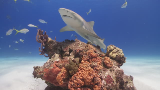 Lemon sharks over coral reef
