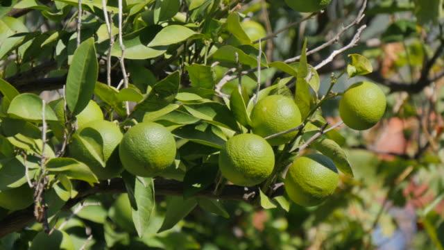 vídeos y material grabado en eventos de stock de lemon tree, korcula old town, korcula, dalmatia, croatia, europe - cultura croata