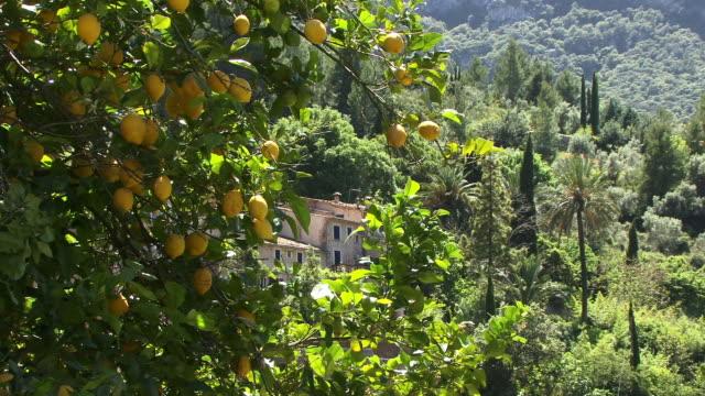 ms, lemon tree on green hill, spain, balearic islands, mallorca, deia - fan palm tree stock videos & royalty-free footage