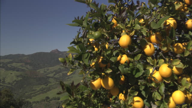 a lemon tree overlooks green california hills and valleys. - citrus fruit stock videos & royalty-free footage