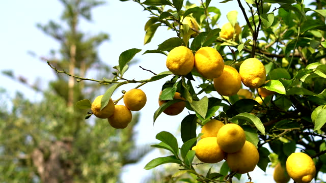 lemon tree - lemon stock videos & royalty-free footage