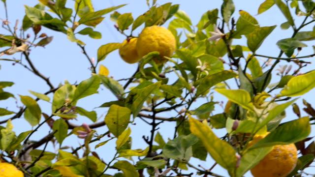 lemon tree - grove stock videos & royalty-free footage