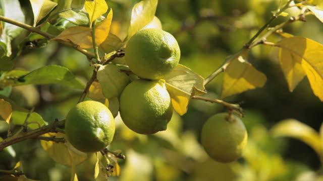 vídeos de stock e filmes b-roll de cu lemon tree with fruits / mallorca, balearic islands, spain  - limão