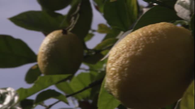 lemons grow on a tree. - citrus fruit stock videos & royalty-free footage