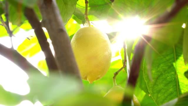 Lemons on the branch against sun