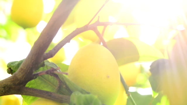 lemons on the branch - lemon stock videos & royalty-free footage