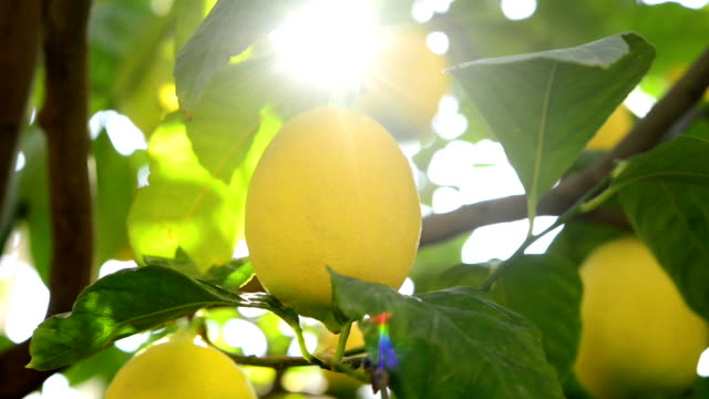 lemons on the branch - citrus fruit stock videos & royalty-free footage
