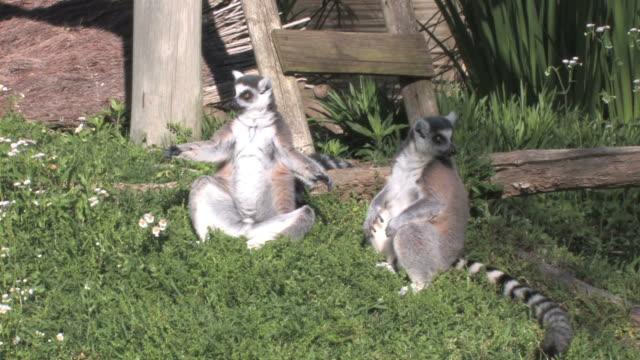 maki dein freund - animal family stock-videos und b-roll-filmmaterial