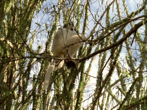 stockvideo's en b-roll-footage met a lemur climbs between a network of branches. - plantdeel