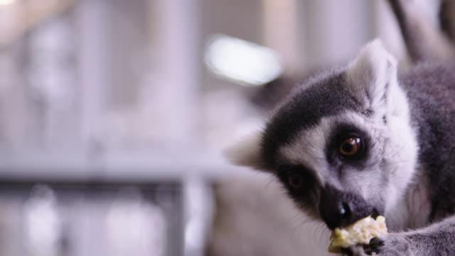 Lemur eating corn in animal shelter