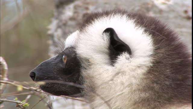 cu ms   lemur face  blinks and looking around/ solukhumbu district, sagarmatha zone, nepal - mt everest national park stock videos and b-roll footage
