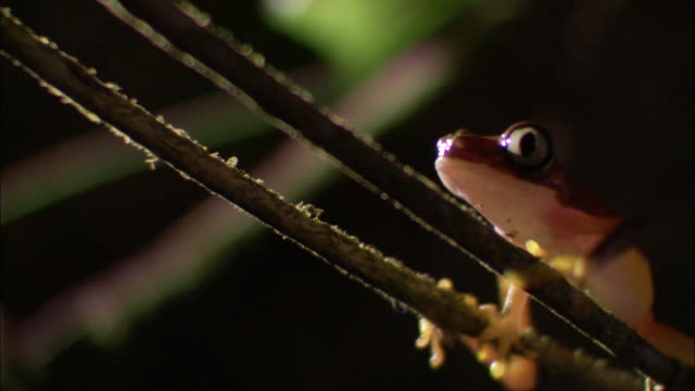 lemur leaf frog (phyllomedusa lemur) clambers on vine, costa rica - low angle view stock videos & royalty-free footage
