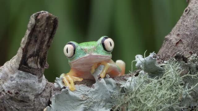 lemur leaf frog with bug-eyes blinking 4k - blinking stock videos & royalty-free footage