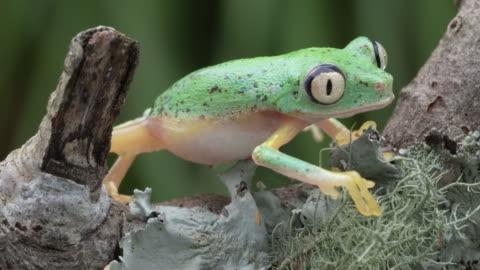 虫の目が4kを這い上がるキツネザルの葉カエル - 葉状体点の映像素材/bロール