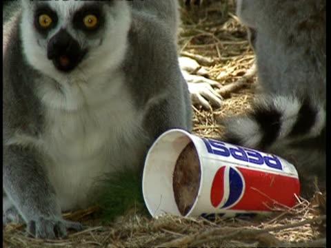 MCU Lemur licking cup of frozen Pepsi