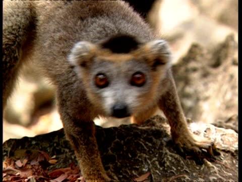 vídeos de stock e filmes b-roll de cu lemur looking curious, winks, to camera - one animal