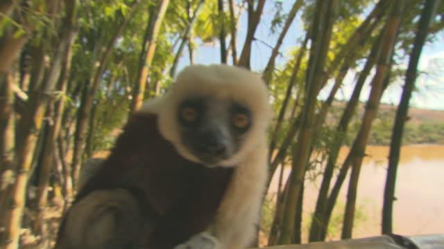 Lemur looking in camera HQ 4:2:2