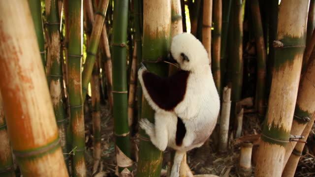 vídeos de stock e filmes b-roll de lémur uma árvore de bambu - bamboo plant