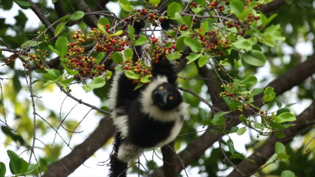 Lemur on tree fruit