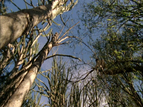stockvideo's en b-roll-footage met a lemur perches in the high branches of a tree. - plantdeel
